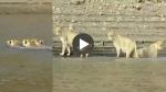VIDEO: गुजरात में तीन शेरनियों ने तैरकर एकसाथ पार की नदी, शायद ही देखा हो ऐसा दृश्य