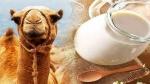 अमूल डेयरी ने मार्केट में लॉन्च किए ऊंट के दूध से बने आइसक्रीम और मिल्क पाउडर, 8 महीने तक नहीं होगा खराब