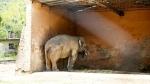 दुनिया के 'सबसे तनहा हाथी' कावन ने छोड़ा पाकिस्तान, अब कम्बोडिया में बिताएगा रिटायरमेंट की उम्र
