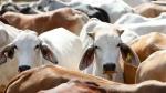 असम के डिब्रूगढ़ में खुला नॉर्थईस्ट का पहला Cow Hospital
