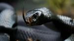 जब सुबह-सुबह कमरे में बैठा मिला ब्लैक कोबरा, जानें फिर क्या हुआ?