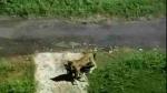 गाजियाबाद: तेंदुए को लेकर आर्डिनेंस फैक्टरी में चला सर्च ऑपरेशन, कुत्ते का शिकार करते VIDEO हुआ वायरल