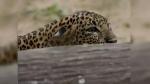गांव में घुसे तेंदुए ने बच्ची पर किया हमला, कुत्तों ने किया सामना तो उसे छोड़कर वापस जंगल भागा