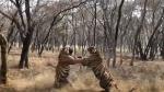 जंगल सफारी के दौरान आपस में भिड़े दो बाघ, IFS अधिकारी ने साझा किया वीडियो, वायरल