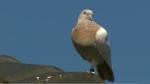 जानिए, 13 हजार KM दूर US से उड़कर आए एक कबूतर को क्यों मारना चाहता है ऑस्ट्रेलिया?