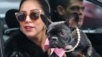 पॉप स्टार लेडी गागा के कुत्ते हुए चोरी, ढूंढकर लाने वाले को देंगी 3 करोड़ रुपए का इनाम