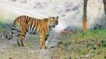 हैदराबाद चिड़ियाघर के बाद दुधवा टाइगर रिजर्व में कोरोना का खतरा, संक्रमित युवक को बाघ ने किया घायल