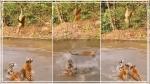 'क्या शिकारी बनेगा रे तू': एक बंदर को पकड़ने में 5 चीतों की फूली सांसें, Video देख देंगे हिम्मत की दाद