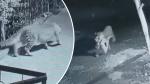 Video: घर में बेफ्रिक सो रहा था कुत्ता, अंधेरी रात दबे पांव आए तेंदुए ने बना लिया अपना निवाला