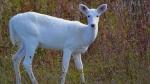 कभी आपने सफेद हिरण देखा? देश के इस जंगल में रहते हैं ऐसे दुर्लभ जानवर, अरसे बाद 1 बाहर निकला