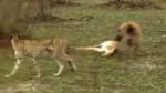 शिकार को आए चीते और लकड़बग्घे को हिरण ने इस पैंतरे से किया चित, लोग बोले-इसे तो ऑस्कर मिलना चाहिए!
