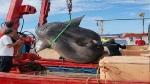 2000 किलो से ज्यादा वजनी मछली मिली, दो क्रेन की मदद से उठी, वैज्ञानिक खुद हैरान