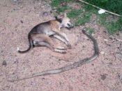 नाग से मौत की लड़ाई लड़ा कुत्ता, वफादारी से बचा ली 7 जवानों की जिंदगियां
