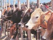 राजस्थान में दूध से भी महंगा बिक रहा गोमूत्र, जानिए क्या है वजह