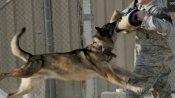 जानिए क्या है बगदादी और लादेन को ढेर करने वाले खतरनाक कुत्ते बेल्जियन मेलिनियॉस की कीमत