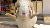 130 किलो के बकरे की कुर्बानी देगा परिवार, बोले- अल्लाह कोरोना से मुक्ति दिलाएगा