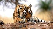 देश में बाघों की संख्या दोगुना करने का लक्ष्य चार साल पहले ही पूरा, सर्वे को गिनीज बुक में मिली जगह