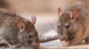 मोहाली: अस्पताल में महिला के शव को लेकर बड़ी लापरवाही, चूहे कुतर-कुतर कर खा गए होंठ और कान