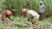 कैबिनेट मीटिंग: किसानों के लिए खुशखबरी, केंद्र सरकार ने बढ़ाया गन्ने का खरीद मूल्य