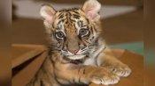बिल्ली का बच्चा समझ कपल ने 5 लाख रुपए में ऑनलाइन खरीदा बाघ, जब घर आया डिब्बा खोला तो...