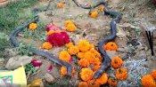 कन्नौज: नाग की मौत के बाद नागिन ने भी तोड़ा दम, लोग करने लगे पूजा
