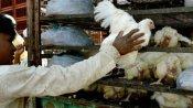 बर्ड फ्लू से चिकन और अंडे के कारोबार पर मार, दिल्ली, यूपी समेत कई राज्यों में दामों में भारी गिरावट