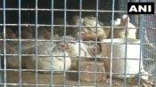 बर्ड फ्लू का असर: लखनऊ में चिकन की बिक्री में 30 फीसदी की गिरावट