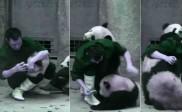 जब इस पांडा ने दवाई खाने से किया इंकार, देखिए क्यों ?