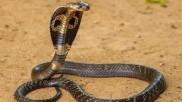 बेडरूम में सो रहे थे दंपति तभी कमरे में निकले एक के बाद एक 45 कोबरा सांप और फिर...