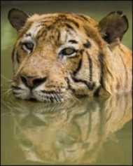 आदमखोर बाघ को मारने का दावा