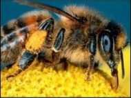 सुबह में अधिक चतुर मधुमक्खियां