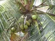 नारियल ने ली बुजुर्ग की जान