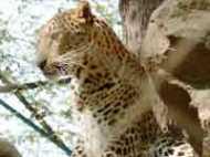 उत्तर प्रदेश: तेंदुए ने बच्चे को शिकार बनाया