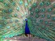 उत्तर प्रदेश : औरेया में 18 मोरों के शव मिले, वनविभाग परेशान