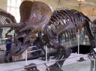 अपने आकार के कारण हुआ डायनासोर का खात्मा