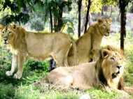 Video- भारी बरसात के बाद गुजरात में सड़कों पर घूम रहे शेर
