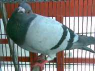 चिप वाला कबूतर मासूम परिंदा है या आतंकवादी?