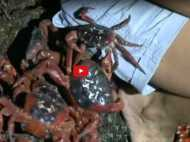 Video: प्रजनन करने निकले 12 करोड़ केकड़े देखें इंसानों ने कैसे की मदद