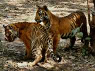 जवानी बरकरार रखने के लिए बाघों को मार खाता था मांस, पीता था खून