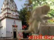 VIDEO: भोले बाबा के इस मंदिर में बंदरों की होती है दारू पार्टी, चखने के साथ जमकर पीते हैं शराब