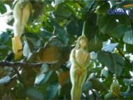 बिना कपड़ों वाली लड़की की तरह दिखता है 'नारीलता' फूल, वायरल वीडियो..