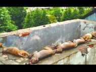 बच्चे को ढूबता देख बचाने के लिए पानी में कूदे 10 बंदर, मौत