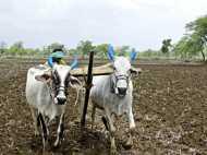 ये कैसी परंपरा! बारिश के लिए बिना कपड़ों के खेत जोत रही हैं कुंआरी लड़कियां
