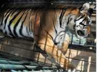 बाघों पर संकट, पिछले छह साल में सबसे ज्यादा मौतें