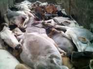 कटान के लिए ले जाए जा रहे 200 पशुओं से भरे तीन ट्रक पकड़े
