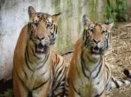 MP: तांत्रिक ने किया बाघों को मार कर रुपए दोगुने करने का दावा