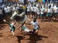 'जल्लीकट्टु' तमिलवासियों के लिए केवल एक प्रथा नहीं बल्कि पहचान भी है...