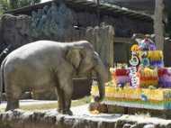 शाही अंदाज में हाथी ने मनाया जन्मदिन, काटा केक, एक साथ बुझाए 56 कैंडल