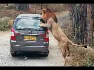 कर्नाटक के बायो पार्क में सफारी कार पर शेरों ने किया हमला, देखें वीडियो