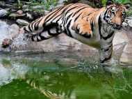 यूपी के पीलीभीत में बाघ ने बिस्तर से घसीट कर शख्स को मार डाला, नरभक्षी घोषित